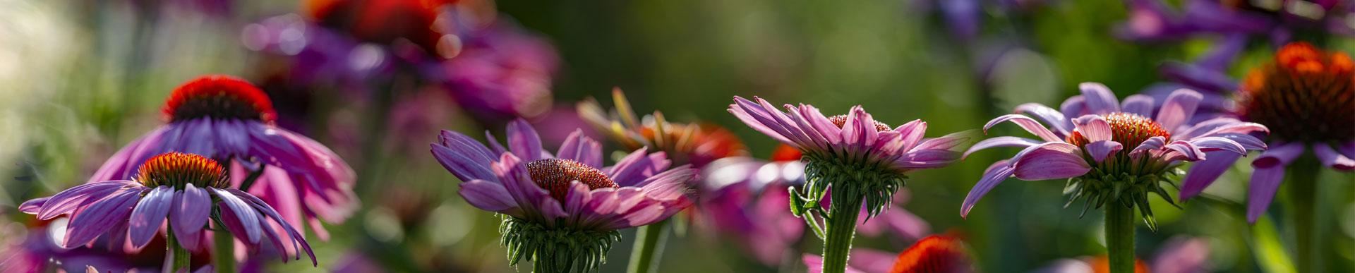 echinacea-coneflower